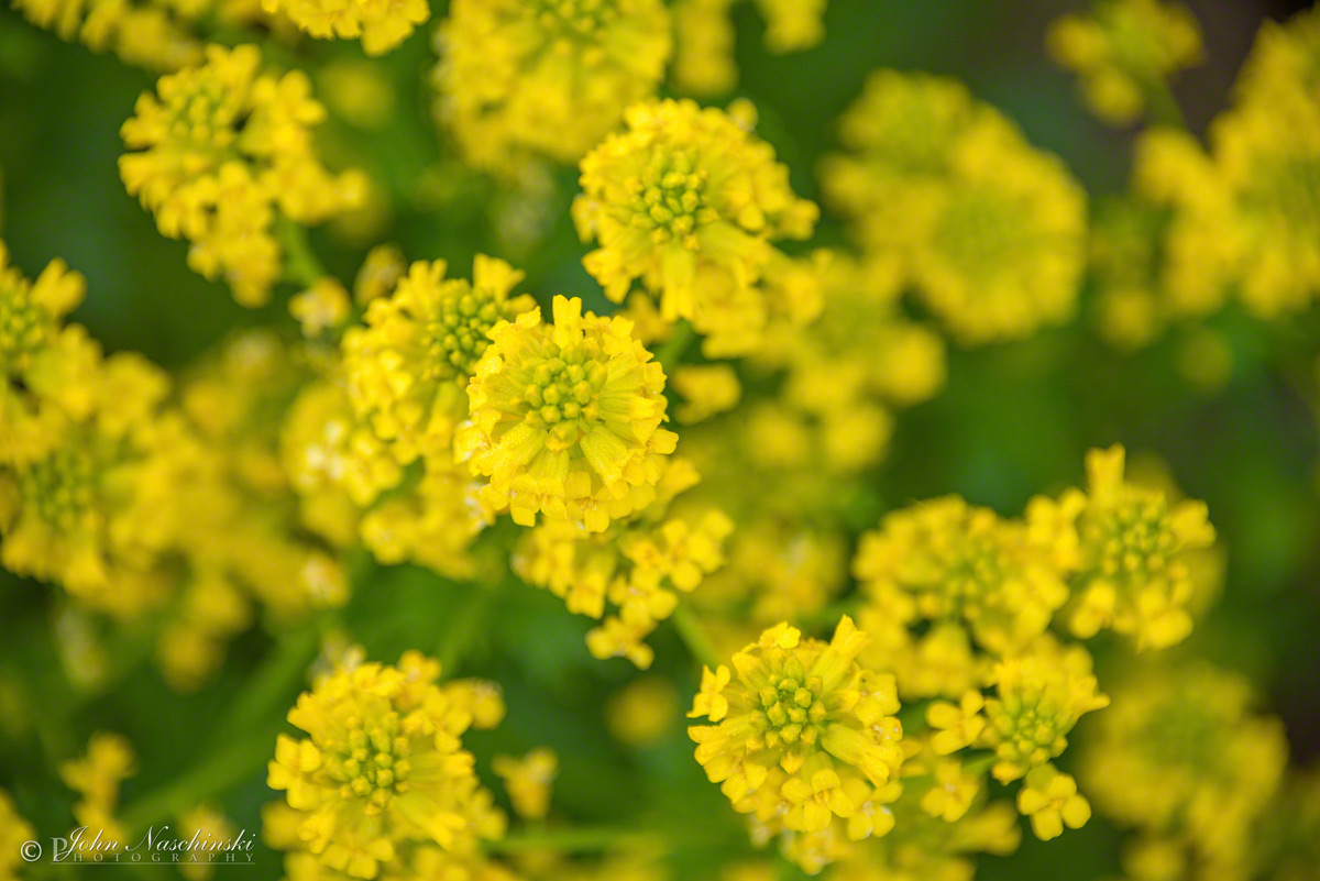 Photos of yellow colorado wildflowers spreading yellowcress flowers rorippa sinuata photo 03 spreading yellowcress flowers rorippa sinuata photo 03 mightylinksfo