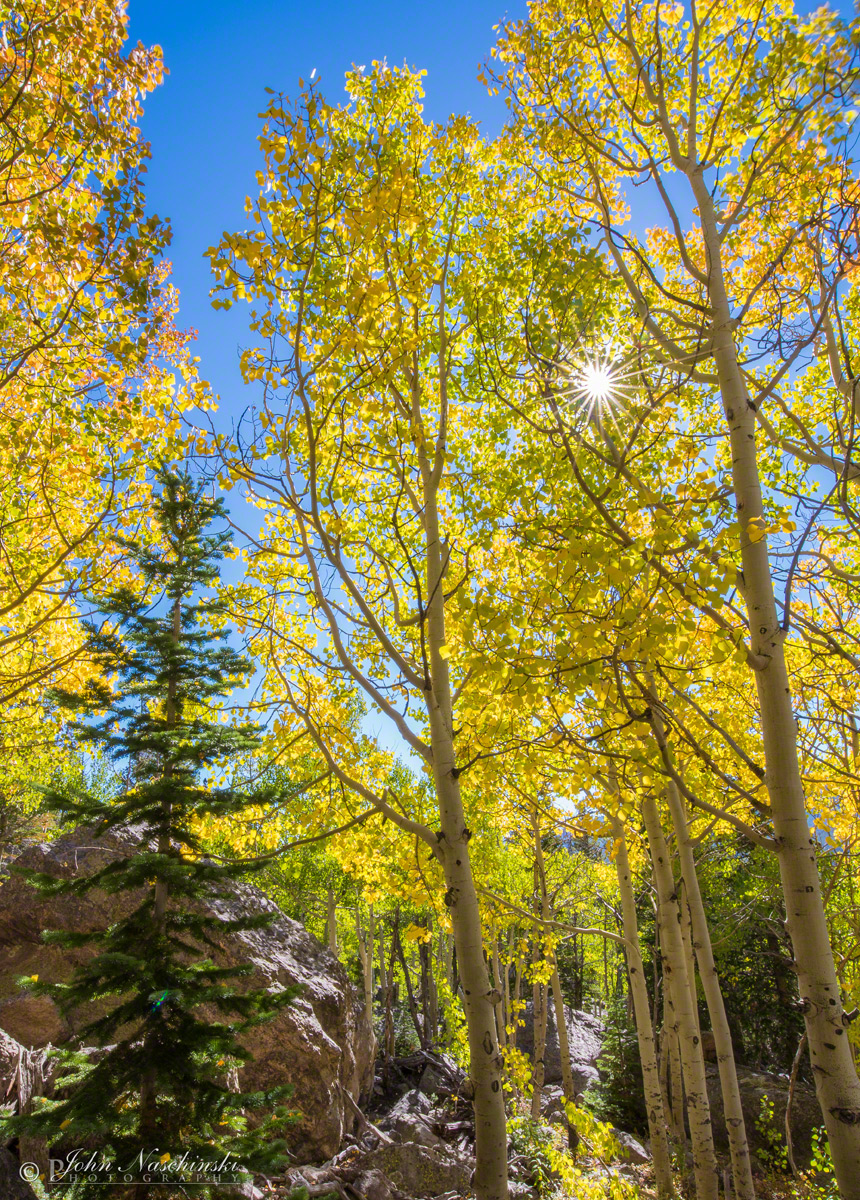 Aspen Tree Fall Colors Rocky Mountain National Park